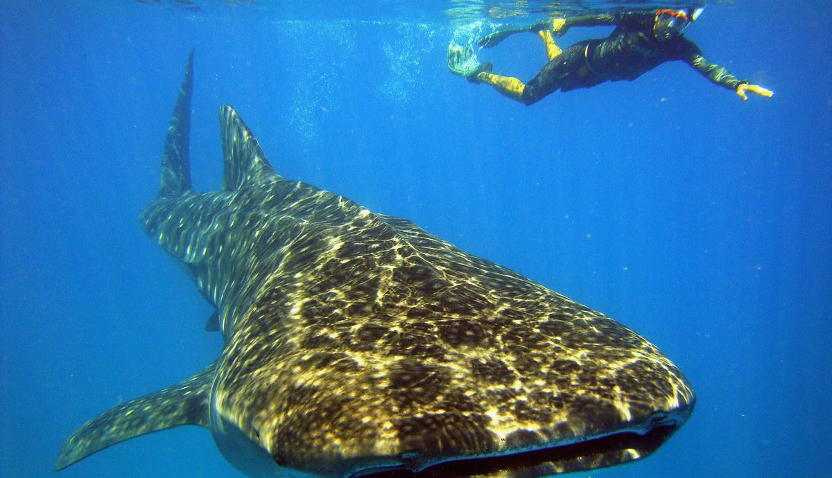 Whale Shark Swimming at W Maldives